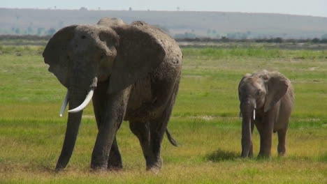 An-elephant-walks-with-its-baby-in-Africa