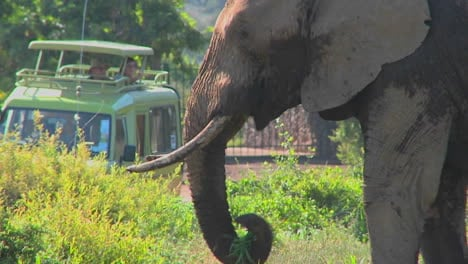 An-elephant-proudly-eats-grass-while-onlookers-on-safari-take-pictures