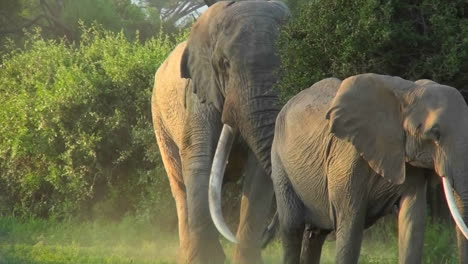 An-elephant-with-massive-tusks-walks-through-the-bush-in-Africa