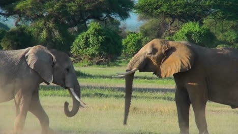 Los-Elefantes-Jóvenes-Luchan-Y-Pelean-En-Este-Ritual-De-Apareamiento