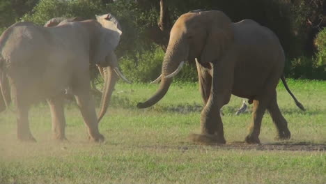 Elephants-square-off-and-fight-in-Africa