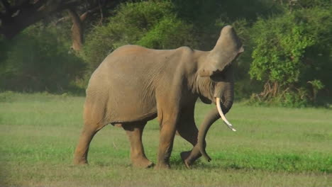 Two-elephants-fight-on-the-plains-of-Africa