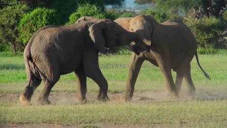 Two-elephants-lock-tusks-and-fight-on-the-plains-of-Africa