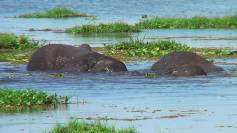 Elephants-wrestle-and-fight-in-a-swamp