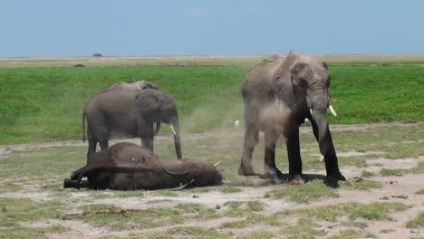 An-elephant-gives-himself-a-dust-bath-while-another-sleeps