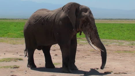 A-giant-elephant-extends-its-trunk