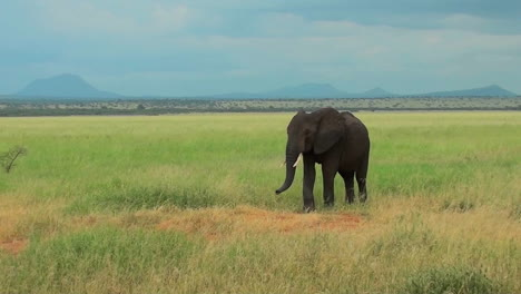 An-elephant-grazes-on-the-plains-of-Africa
