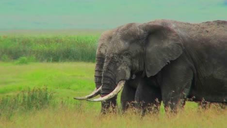 Dos-Elefantes-Pastan-En-Campos-Amarillos-En-África