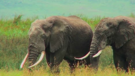 Two-elephants-graze-on-the-plains-of-Africa