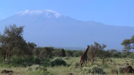 Una-Jirafa-Se-Para-Frente-Al-Monte-Kilimanjaro-En-La-Distancia-Una-Jirafa-Se-Para-Frente-Al-Monte-Kilimanjaro-En-La-Distancia