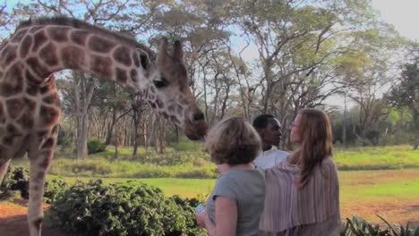 Tourists-pet-a-giraffe-in-a-zoo-setting-1