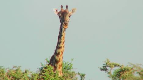 A-giraffe-peers-over-the-treetops