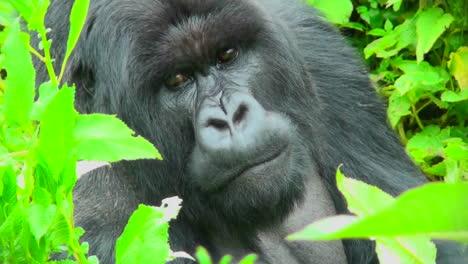 A-gorilla-sits-in-the-greenery-of-the-Rwanda-rainforest