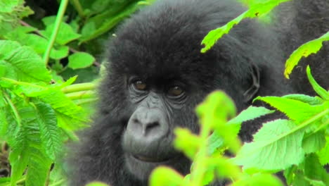 A-mountain-gorilla-baby-sits-in-the-greenery-of-the-Rwandan-rainforest