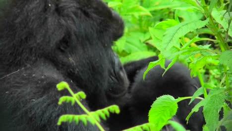 A-Rwandan-mountain-gorilla-amongst-the-green-foliage-of-the-jungle