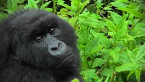 Un-Gorila-De-Montaña-Mira-A-Su-Alrededor-En-La-Selva-Tropical-De-Ruanda
