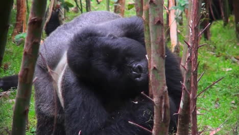 A-silverback-mountain-gorilla-eats-in-a-eucalyptus-forest-in-Rwanda