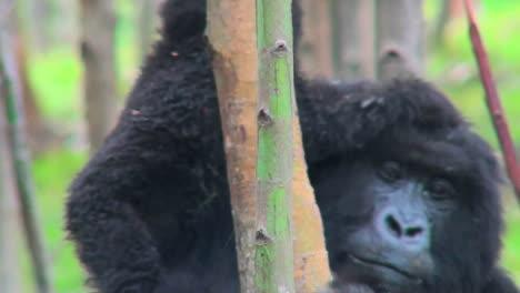 Un-Bebé-Gorila-De-Montaña-Cabalga-Sobre-Sus-Madres-En-La-Selva-De-Ruanda