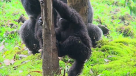 A-baby-mountain-gorilla-climbs-a-eucalyptus-tree-in-Rwanda