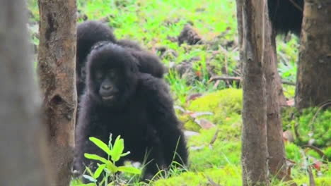 Baby-gorillas-play-and-fight-in-the-jungles-of-Rwanda