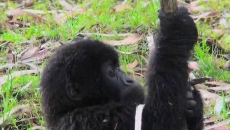 A-baby-gorilla-eats-a-eucalyptus-tree