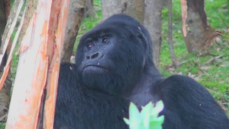 An-adult-female-mountain-gorilla-chews-food-in-the-rainforest