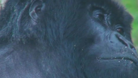 Close-on-an-adult-female-gorilla-looking-around