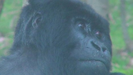 An-adult-female-mountain-gorilla-looking-at-her-surroundings
