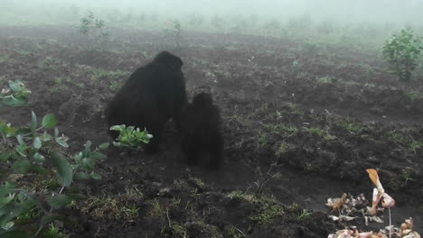 Un-Gorila-De-Montaña-Adulto-Y-Un-Bebé-Caminan-Hacia-La-Niebla
