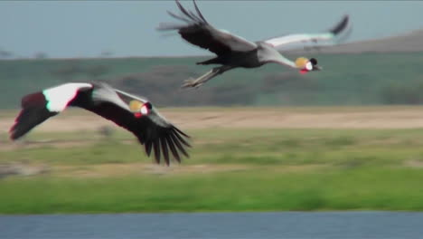 Beautiful-slow-motion-shot-of-African-crested-cranes-in-flight
