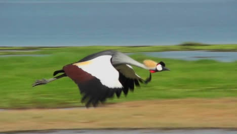 A-beautiful-slow-motion-shot-of-an-African-crested-crane-in-flight