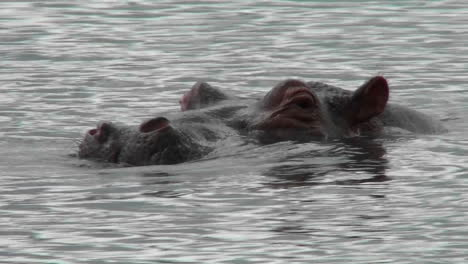 A-hippo-peers-out-of-the-water-in-a-river-in-Africa