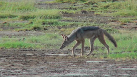 A-jackal-forages-for-food-on-the-African-plains