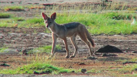 A-jackal-runs-along-in-the-Serengeti-desert