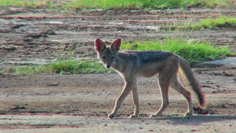 A-jackal-walks-through-the-plains-of-Africa