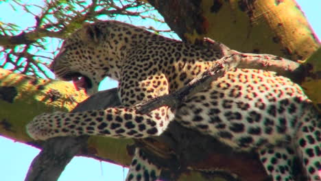 Un-Leopardo-Africano-Descansa-En-Un-árbol-