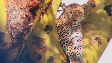 A-beautiful-leopard-is-camouflaged-in-a-tree