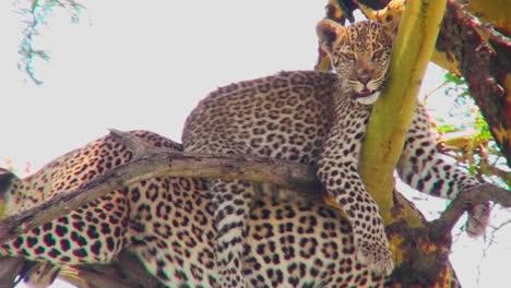 Un-Muy-Lindo-Bebé-Leopardo-Se-Sienta-Sobre-Su-Madre-En-Un-árbol-En-África