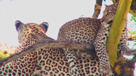 A-leopard-baby-sits-on-the-back-of-its-mother-in-a-tree-in-Africa