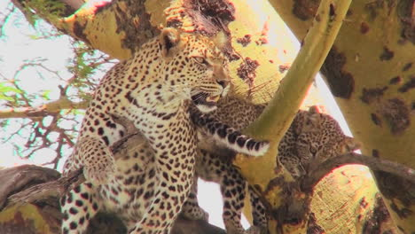 A-mother-leopard-defends-her-baby-in-a-tree-in-Africa