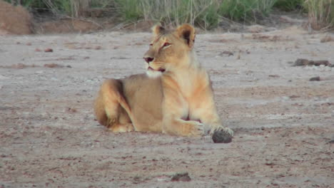 A-female-lion-looks-alertly-around-on-the-plains-of-Africa