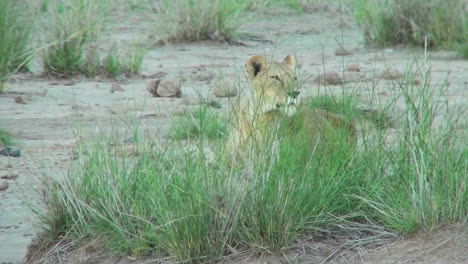 A-lion-hides-behind-some-clumps-of-grass-and-observes-his-domain-in-Africa