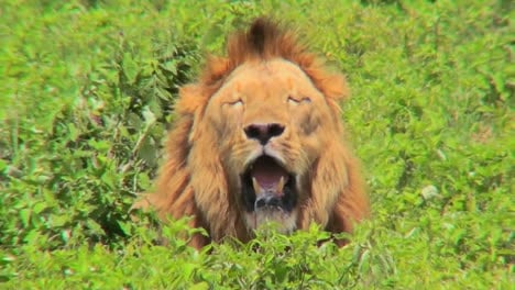 A-male-lion-looks-at-us-with-mouth-open-and-big-mane