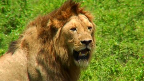 Ein-Männlicher-Löwe-Dreht-Sich-Um-Und-Sieht-Uns-In-Den-Ebenen-Afrikas-An