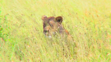 A-lion-hides-and-is-camouflaged-in-tall-yellow-grass