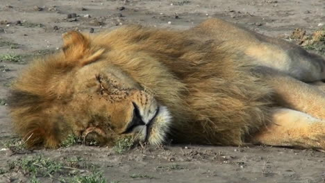 A-male-lion-sleeps-on-the-ground-covered-with-flies