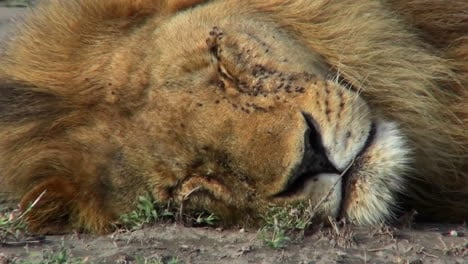 A-lion-is-on-the-ground-covered-with-flies-and-could-be-dead