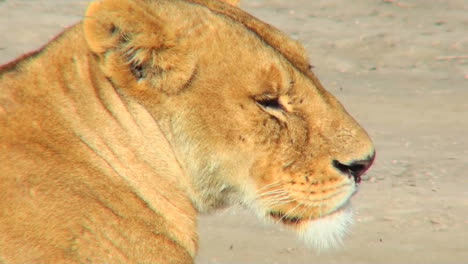A-female-lioness-turns-to-profile