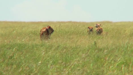 A-group-of-lions-walk-through-tall-grass-in-the-distance-on-the-prowl