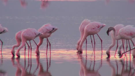 Beautiful-footage-of-pink-flamingos-in-early-morning-light-on-Lake-Nakuru-Kenya-12
